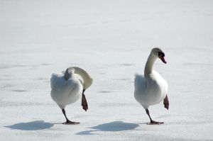 Swans standing on ice